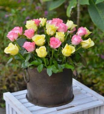 Two Dozen Pink  Yellow Combination Roses