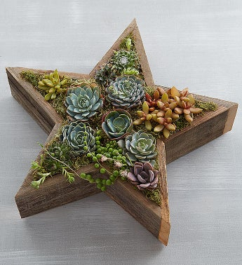 Wood Star Succulent