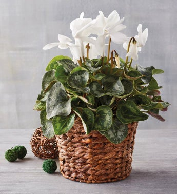 White Cyclamen in Hyacinth Basket