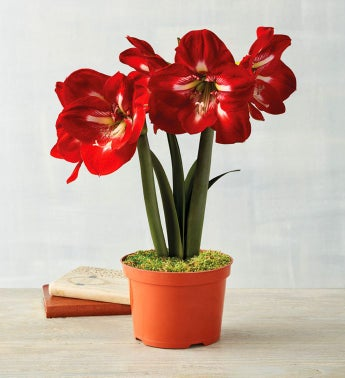 Candy Cane Amaryllis in Nursery Pot