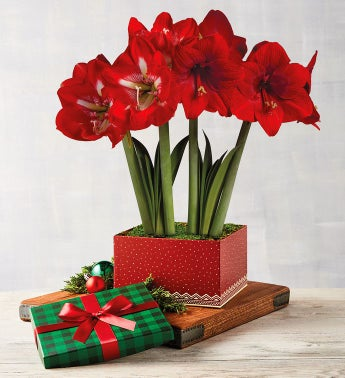 Holiday Amaryllis Duo